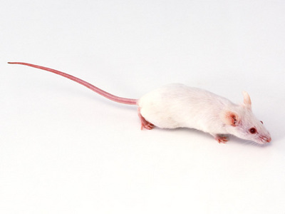 これは本当のネズミ
